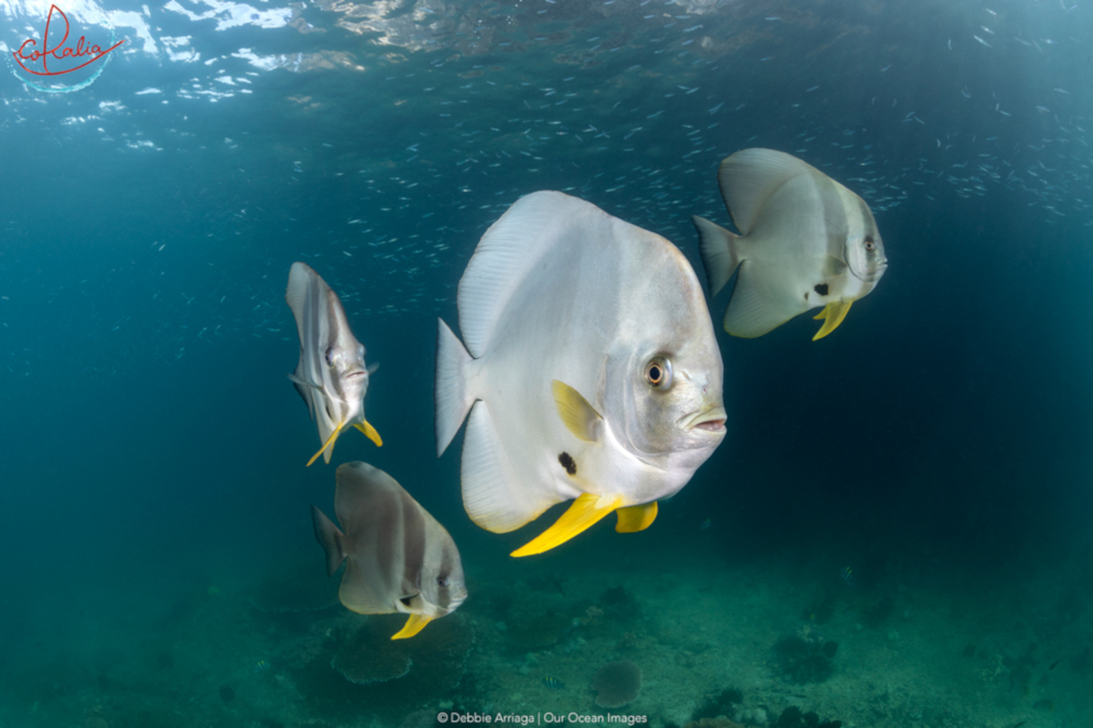 Batfish with different colourations in Triton Bay with Coralia Liveaboard in Indonesia