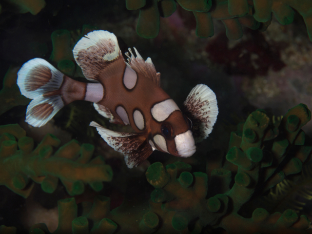 Juvenile stage of the harlequin sweetlips with Coralia Liveaboard in Raja Ampat in Indonesia