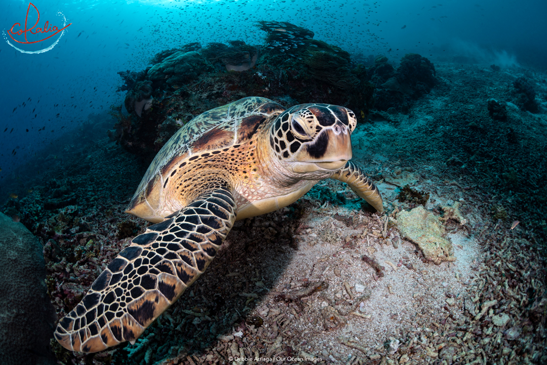Green turtle on a reef with Coralia Liveaboard in Indonesia
