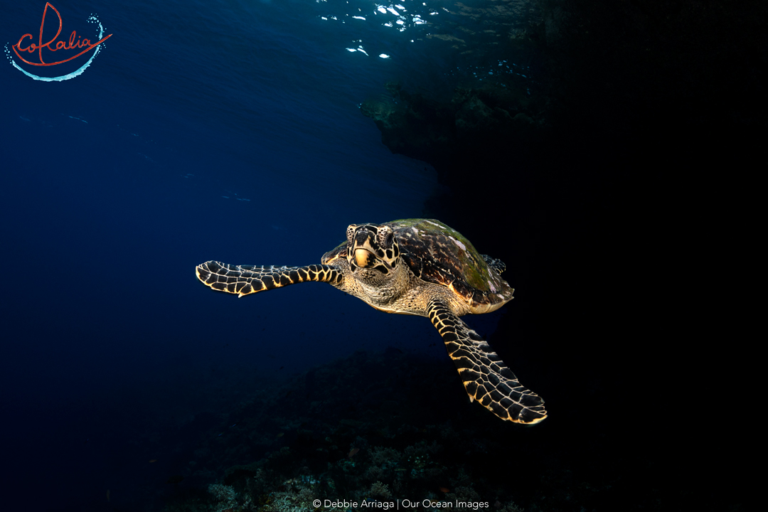 Hawksbill turtle swimming underwater in Indonesia