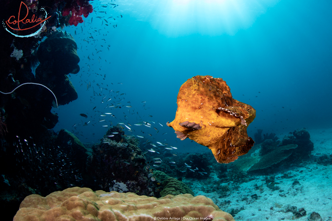 Giant frogfish swimming
